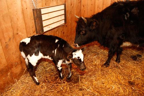 У якутских мини-коров уникальное молоко